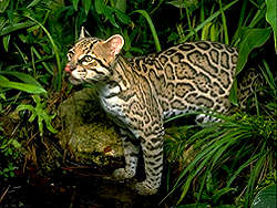 Ocelot at a pond
