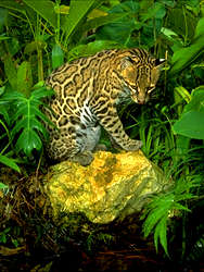 Ocelot on a rock